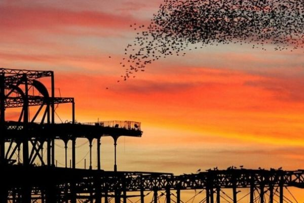 Starlings fly over Brighton West Pier at sunset